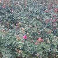红帽子月季60高。*新报价丰花月季。蔷薇月季。送货上门