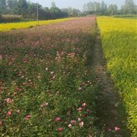 丰花月季50高度.蔷薇月季。红帽子月季。品种月季。送货上门
