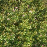 绣线菊40高度*新价格,麻叶绣线菊,金山绣线菊,成活好