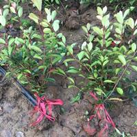 红叶石楠苗价格,图片红叶石楠球,量大可以送货上门。
