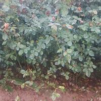 红帽月季60高度,丰花月季,红花蔷薇月季,攀爬月季