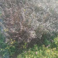 紫叶小檗,红叶小波50高度价格,红叶小波基地,耐寒