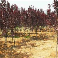 紫叶矮樱价格_紫叶矮樱产地_紫叶矮樱绿化苗木苗圃基地