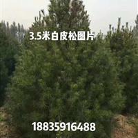 地径6公分8公分=米径4公分6公分白皮松=3米白皮松