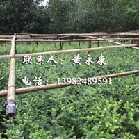 黄永康供应泸州周边贡井大安沿滩荣昌富顺红豆杉、沉香小苗