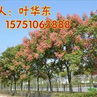 8公分欒樹價格 10公分欒樹價格 12公分欒樹價格