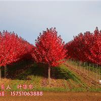 2019红枫市场行情、美国红枫、红枫供应、红枫图片