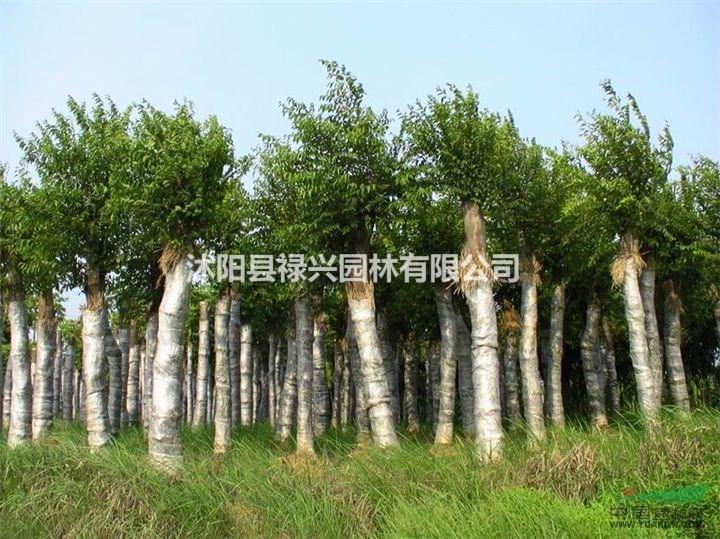朴树小苗种植、朴树介绍、朴树规格分类、全冠朴树
