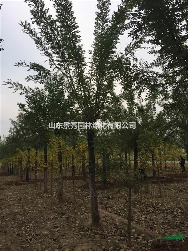 山东景秀园林绿化有限公司占地1300亩,是山东最大的苗木种植推广批发地。也是山东省和菏泽市最有代表性的示 范基地。苗木种植推广地发展十余年来,绿化幼苗、成品苗远销;北京、天津、山东、 廊坊、东北、山西、内蒙、河南、陕西、四川等23个省市。主要供应品种有: 1.国槐(裸根、土球、全冠、半冠、截杆、原生一二三年冒)1-120公分; 2.