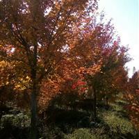 美国红枫5公分---10公分