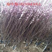 重瓣榆叶梅1.5米冠幅,大花榆叶梅带土球,榆叶梅地栽苗