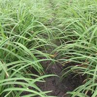 浙江萧山大量供应冬天不枯的常绿萱草