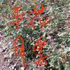 江苏康凯苗圃大量出售平花月季