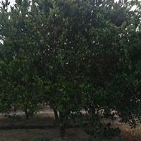 供应4.5米高嫁接胡柚树