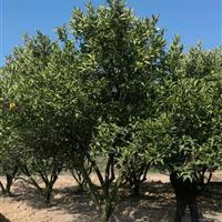 浙江衢州供应3.5米胡柚树