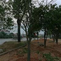 浙江衢州供应胡柚树(移栽苗)
