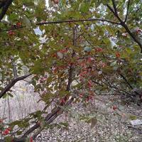 山茱萸 茱萸 丛生山茱萸 单杆山茱萸
