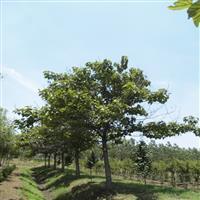 供应泡桐树