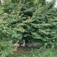 供有20公分以上雞爪槭和羅漢松羽毛楓紅梅10到25公分