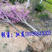 江苏紫荆3公分粗,独杆紫荆量大,苗圃直销丛生紫荆,量大优惠