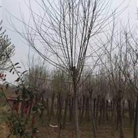河南地区大量供应3-15公分青檀树