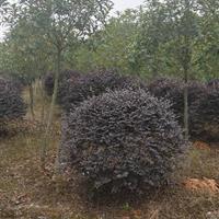 江西地区供应30-1.8米的红花继木球