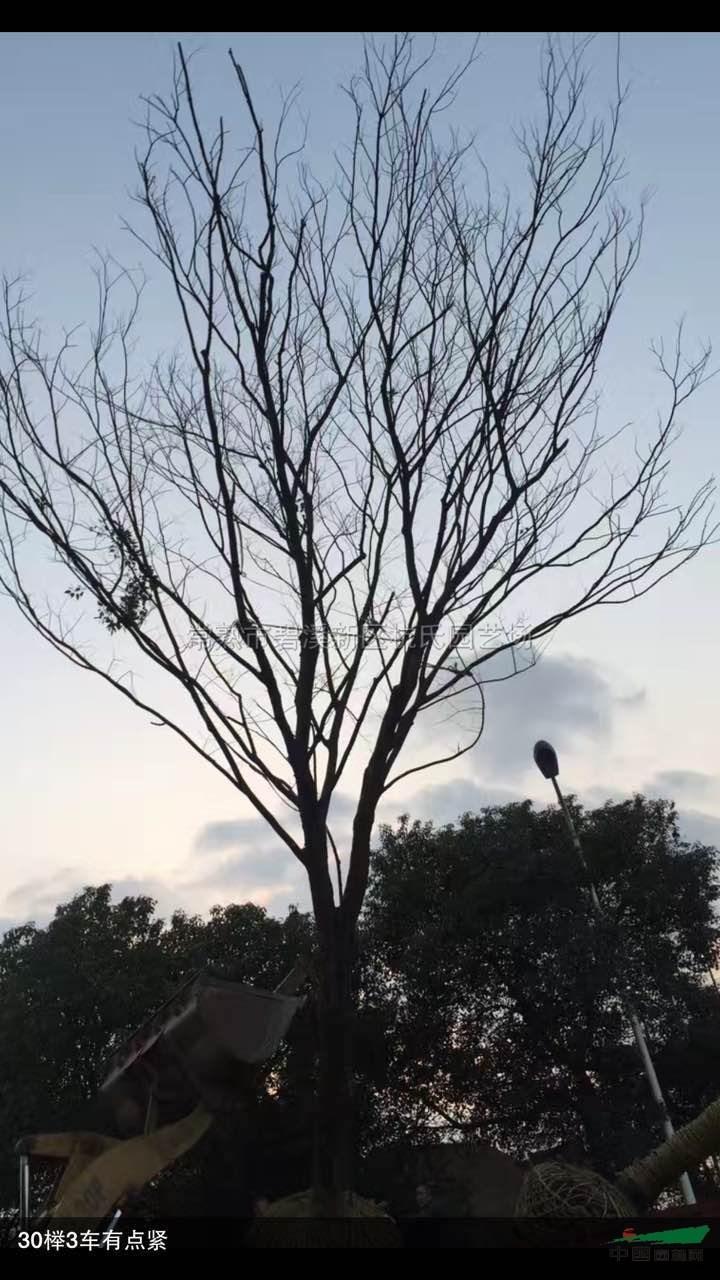 榉树干剪影素材