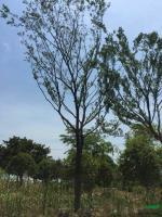 胸径18到20公分朴树供应/胸径18到20公分朴树图片
