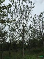胸径18到20公分朴树2报价/江苏胸径18到20公分朴树2报价