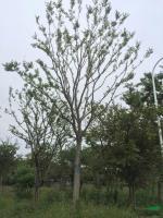 江苏胸径18到20公分朴树3信息