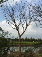胸径18到20公分朴树4行情报价\胸径18到20公分朴树4图片展示
