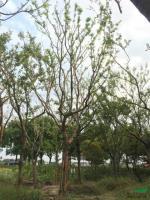 胸径18到20公分朴树5最新价格/胸径18到20公分朴树5报价