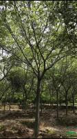 江苏胸径18到20公分朴树6信息