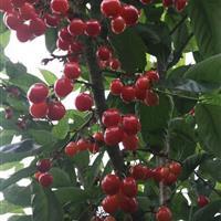 四川供应大量樱桃苗 樱桃果 量大