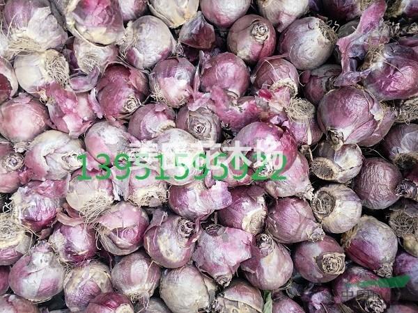 荷兰风信子郁金香种球哪里有卖百合水仙番红花柱顶红新价格