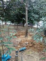 榉树图片\榉树报价 各种规格榉树供应