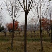 南阳地区供应杜仲 杜仲价格 河南杜仲 杜仲树