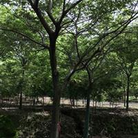江苏15公分朴树价格 胸径15公分朴树1000元 根据树形价