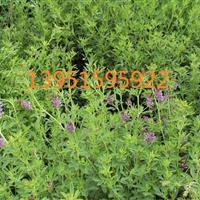 草木犀紫花苜蓿的种植方法光叶紫花苕子紫云英三叶草种子价格