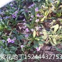 紫花地丁价格紫花地丁批发采购