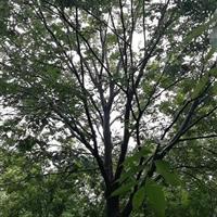 江苏胸径16公分榉树报价 16公分榉树1800元 红榉16