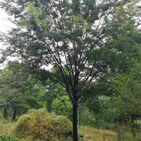 苏州17公分榉树价格3200元 17公分红榉装车价格3200