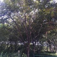 江苏胸径18公分榉树3800元 18公分红榉3800元。