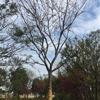 苏州19公分榉树4200元 江苏19公分红榉4200元装车价