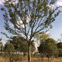 江苏胸径20公分榉树4500元装车 20公分红榉4500元。