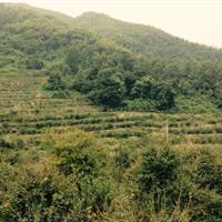 銷售精品紅楓雞爪槭羽毛楓垂絲海棠三角楓紅葉石楠羅漢松紅梅
