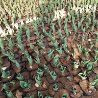 公园绿化郁金香种球,种苗,