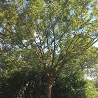 江苏21公分榉树4800元 21公分红榉4800元装车价