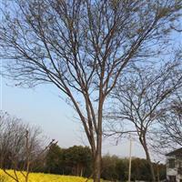 苏州胸径24公分榉树6000元,24公分红榉6000元。