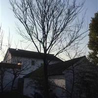江苏26公分榉树6800元,胸径26公分红榉6800元装车价